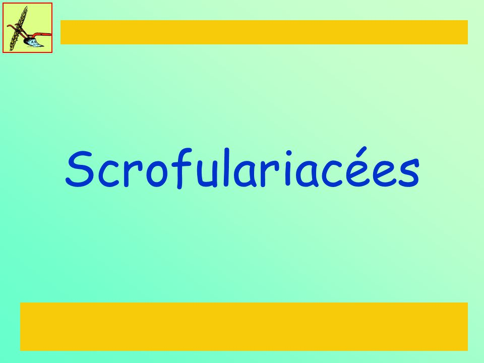 Scrofulariacées
