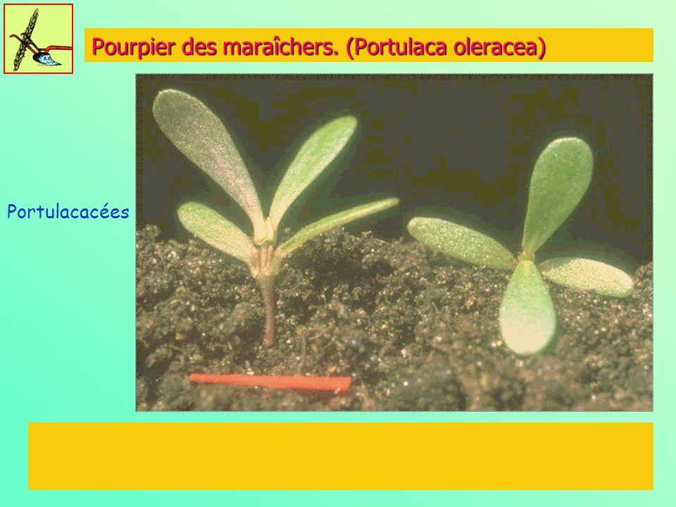 Pourpier des maraîchers. (Portulaca oleracea)