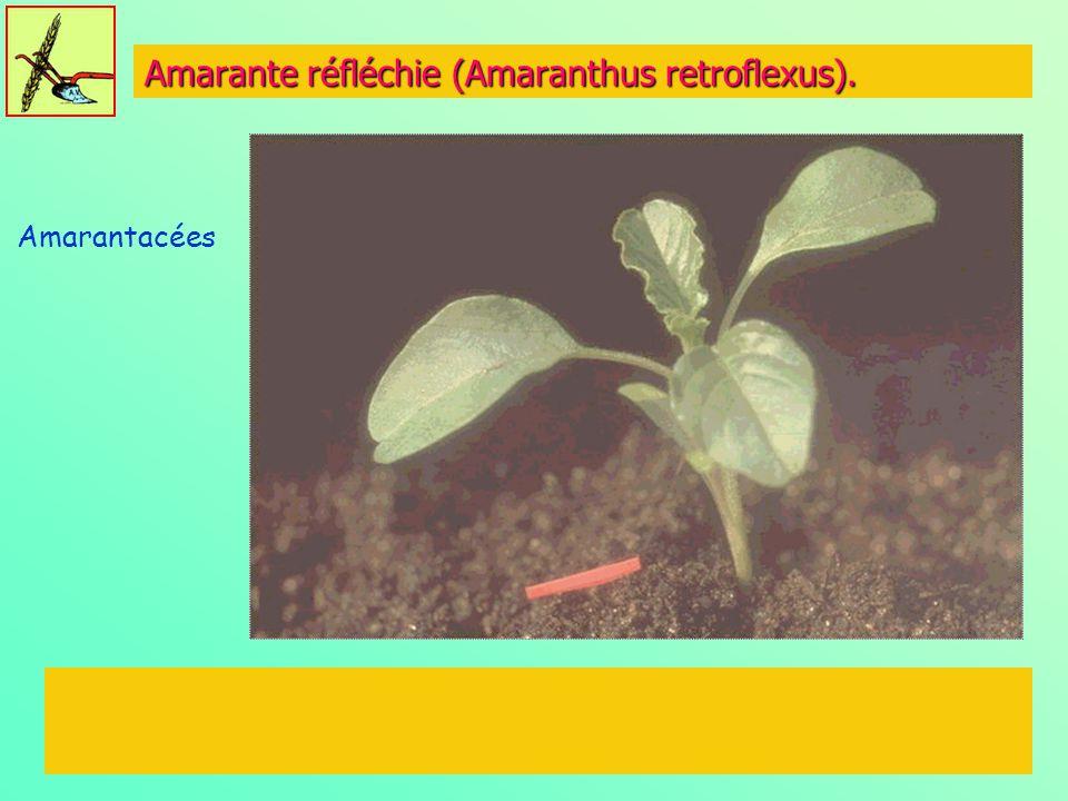 Amarante réfléchie (Amaranthus retroflexus).
