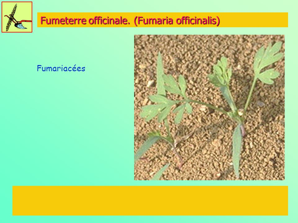 Fumeterre officinale. (Fumaria officinalis)