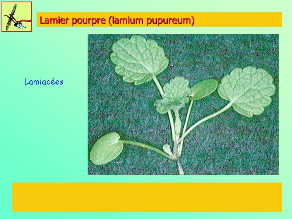 Lamier pourpre (lamium pupureum)