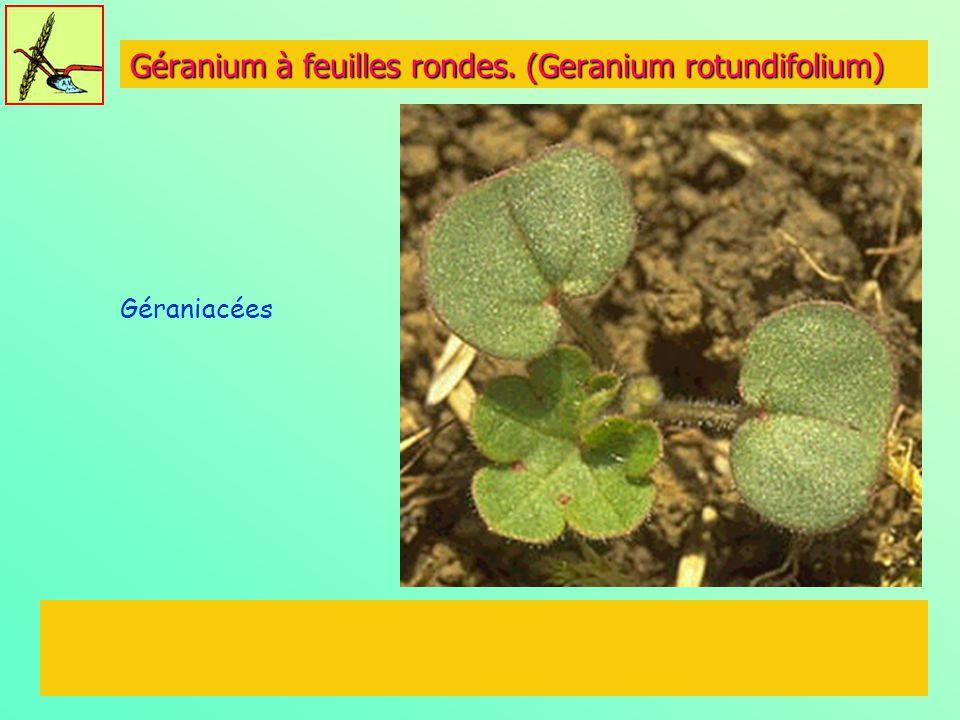 Géranium à feuilles rondes. (Geranium rotundifolium)
