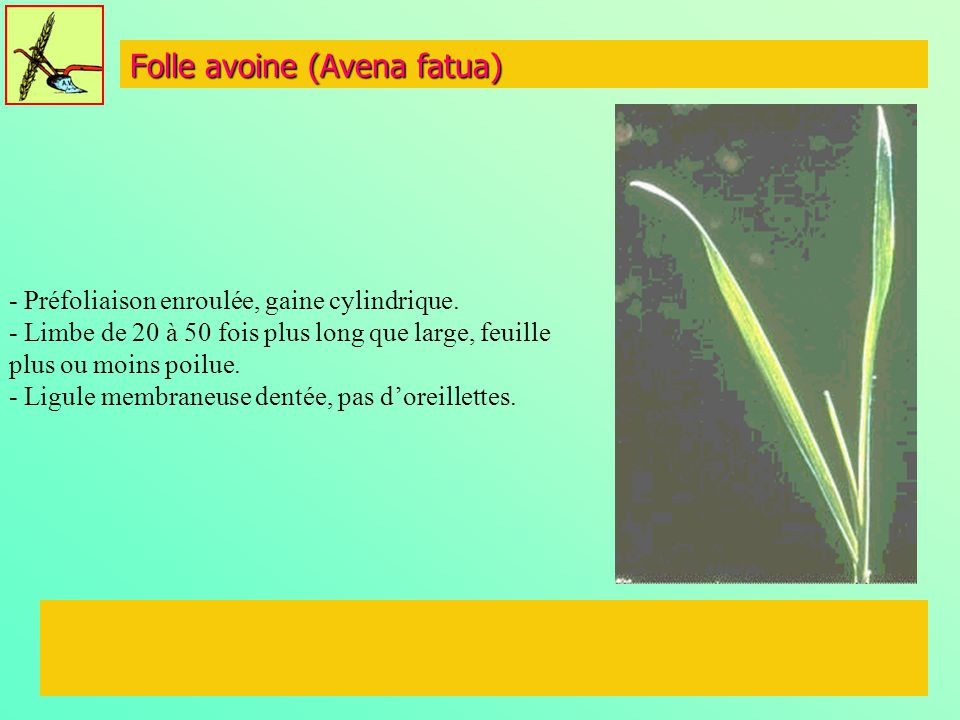 Folle avoine (Avena fatua)