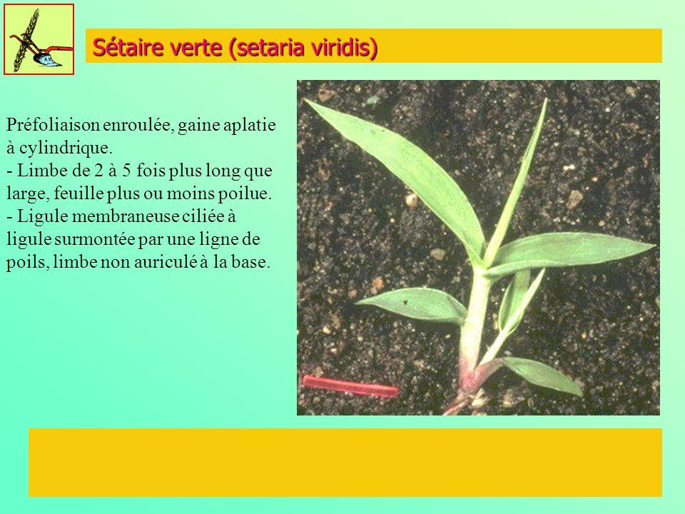 Sétaire verte (setaria viridis)