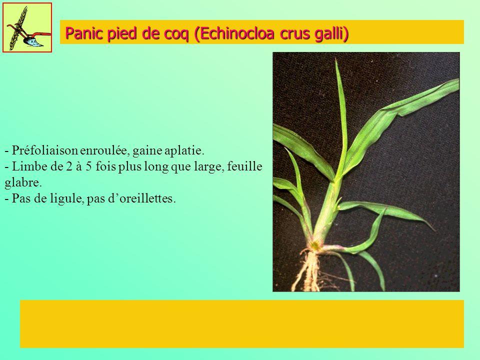 Panic pied de coq (Echinocloa crus galli)