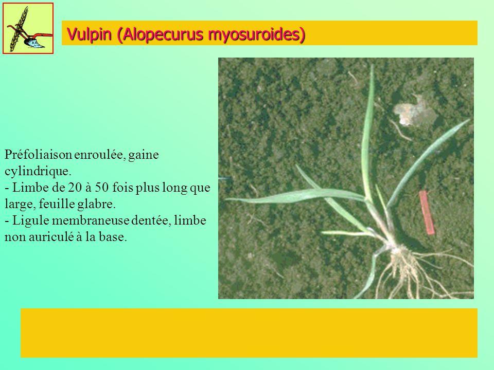 Vulpin (Alopecurus myosuroides)