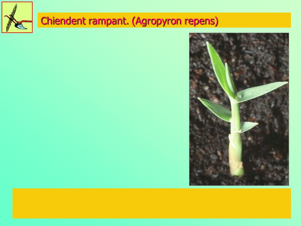 Chiendent rampant. (Agropyron repens)