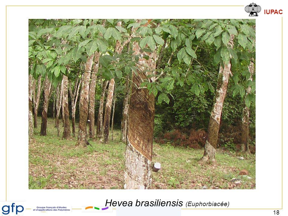 Hevea brasiliensis (Euphorbiacée)