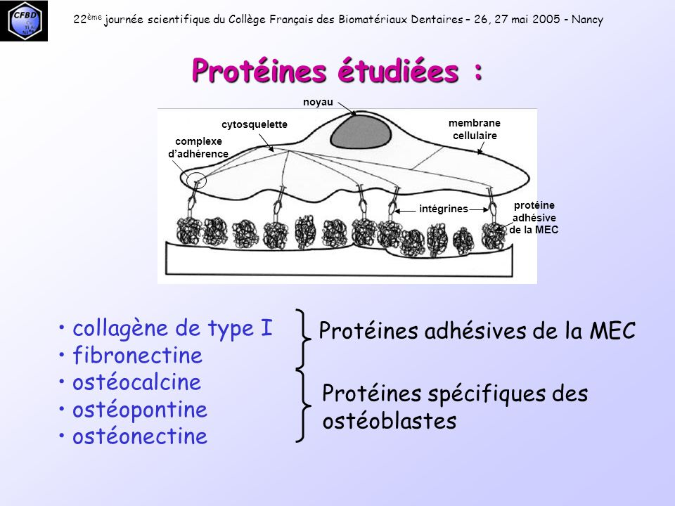 protéine adhésive de la MEC