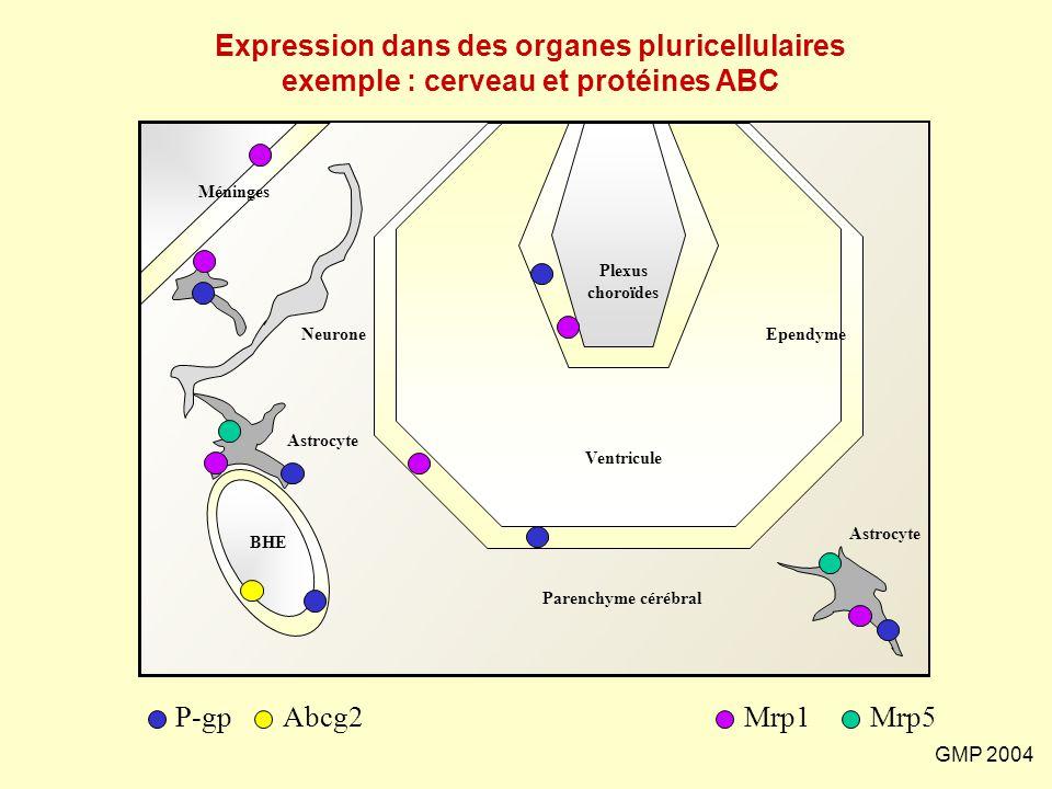 Expression dans des organes pluricellulaires exemple : cerveau et protéines ABC