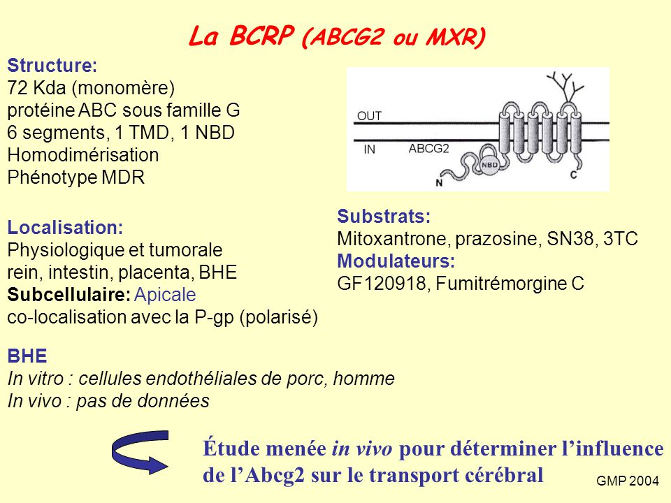 La BCRP (ABCG2 ou MXR) Structure: 72 Kda (monomère) protéine ABC sous famille G. 6 segments, 1 TMD, 1 NBD.
