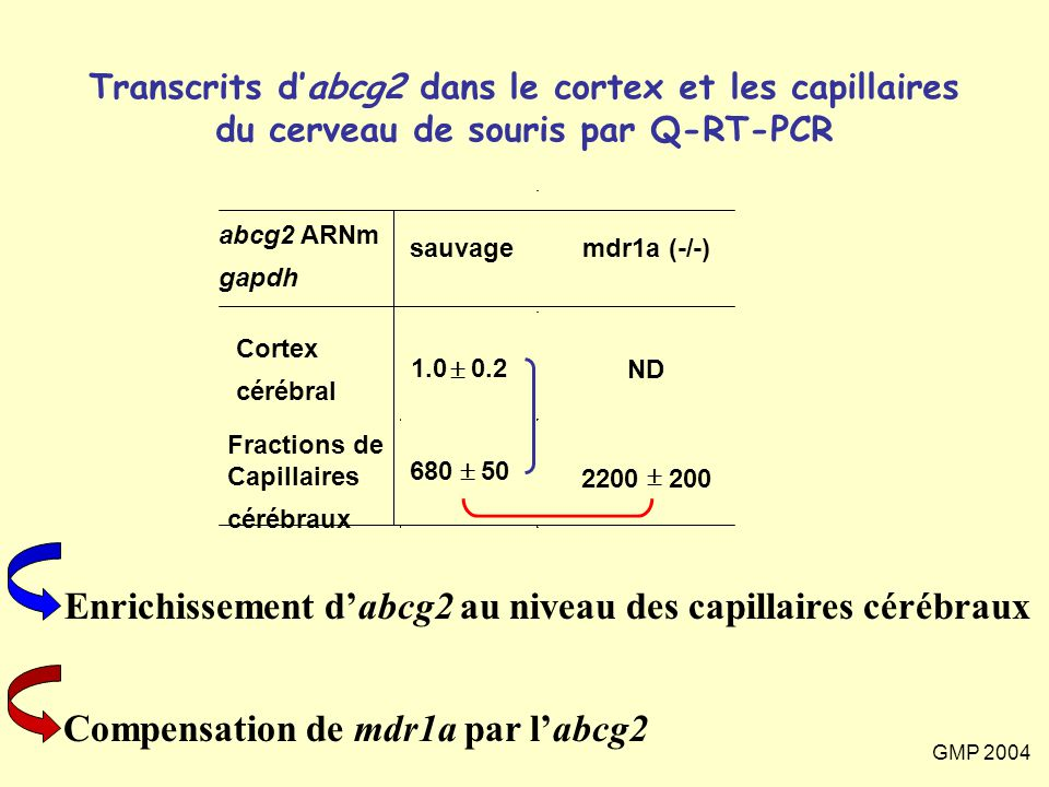 Enrichissement d'abcg2 au niveau des capillaires cérébraux
