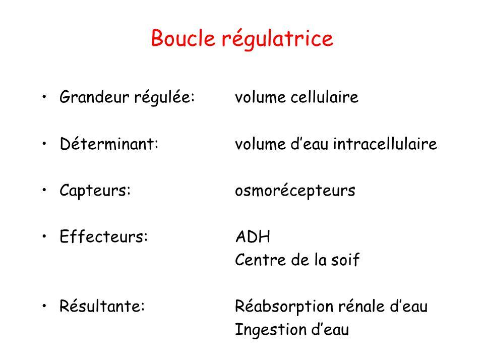 Boucle régulatrice Grandeur régulée: volume cellulaire