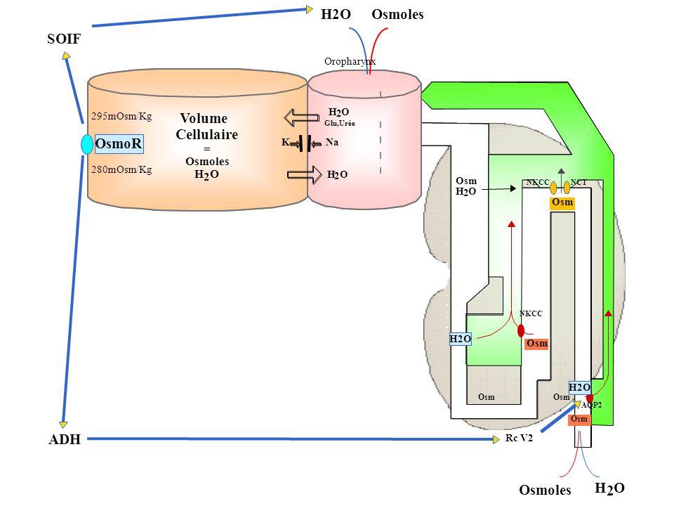H2O Osmoles SOIF Volume Cellulaire OsmoR ADH Osmoles H 2 O = Osmoles H