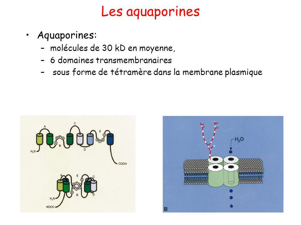 Les aquaporines Aquaporines: molécules de 30 kD en moyenne,