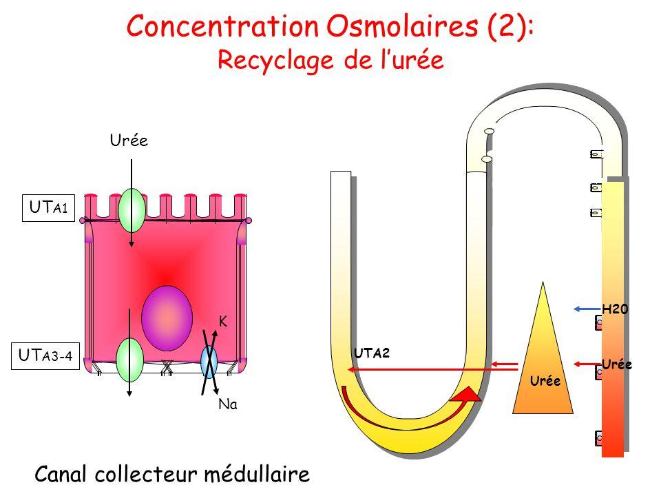 Concentration Osmolaires (2): Recyclage de l'urée