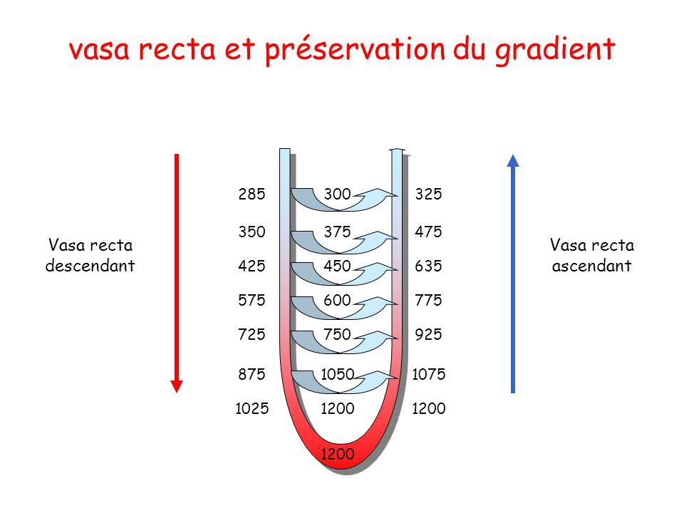 vasa recta et préservation du gradient