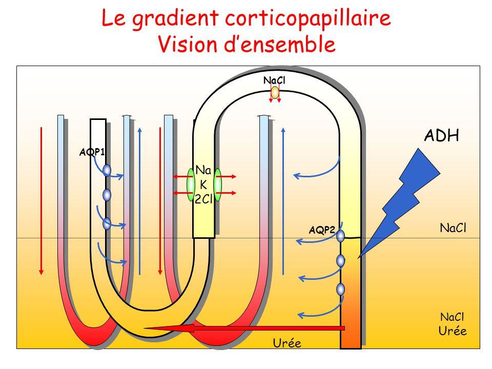Le gradient corticopapillaire Vision d'ensemble