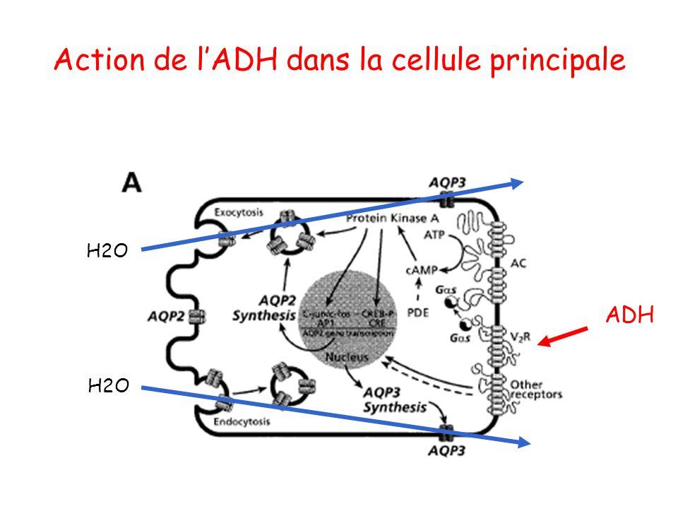 Action de l'ADH dans la cellule principale