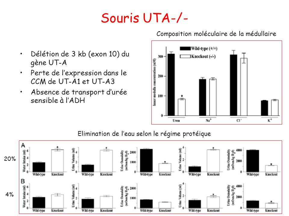 Souris UTA-/- Délétion de 3 kb (exon 10) du gène UT-A