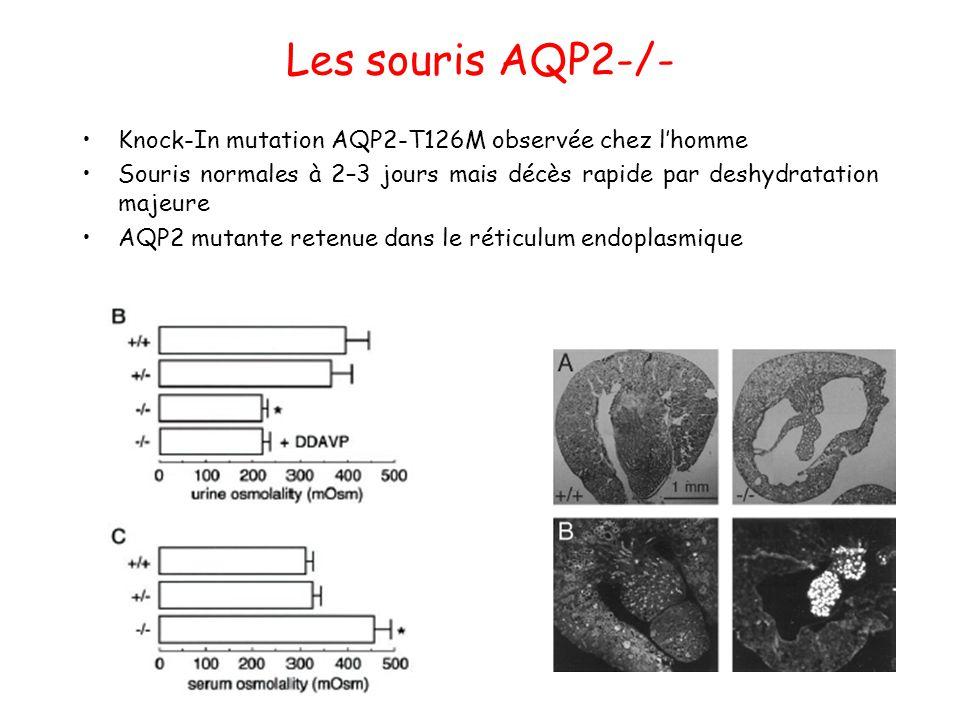 Les souris AQP2-/- Knock-In mutation AQP2-T126M observée chez l'homme