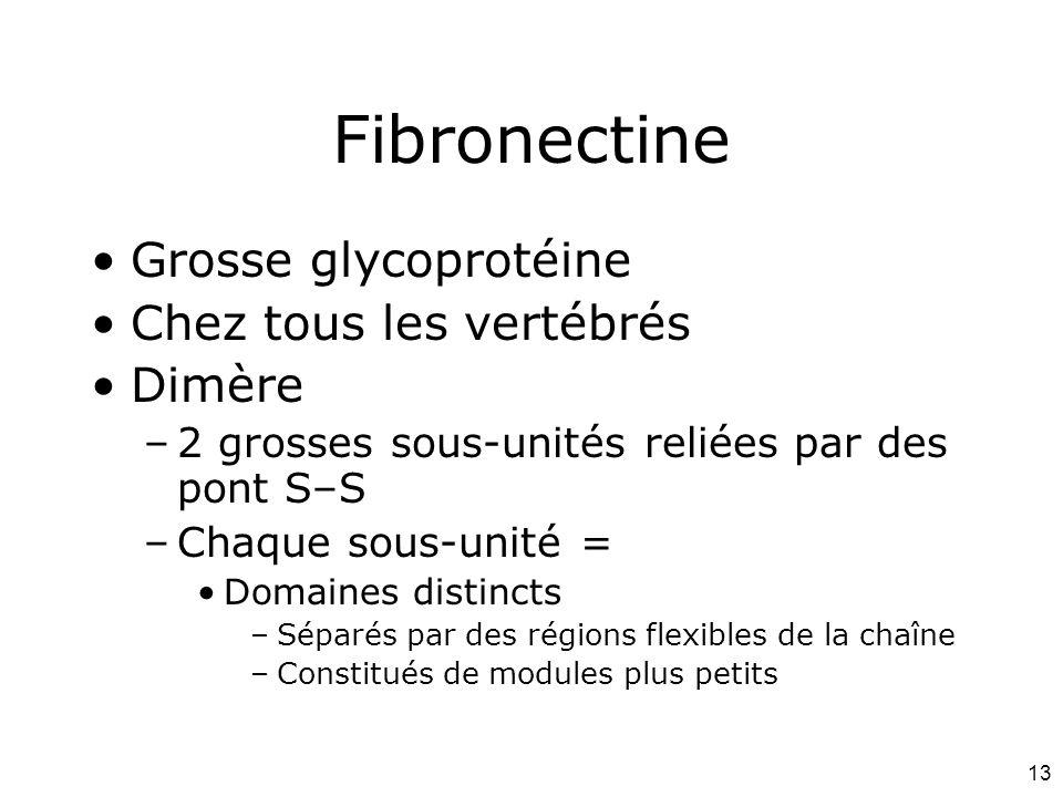Fibronectine Grosse glycoprotéine Chez tous les vertébrés Dimère