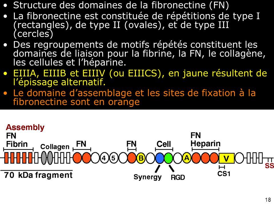 Structure des domaines de la fibronectine (FN)