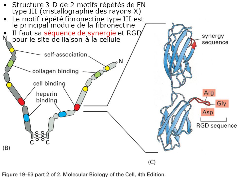 Structure 3-D de 2 motifs répétés de FN type III (cristallographie des rayons X)