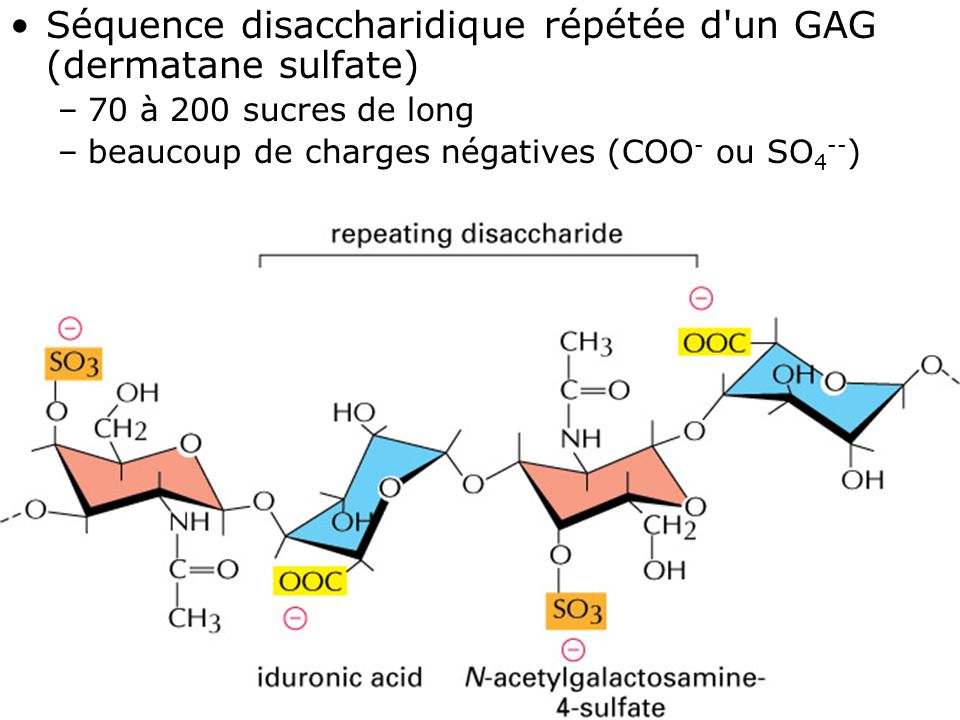 Séquence disaccharidique répétée d un GAG (dermatane sulfate)