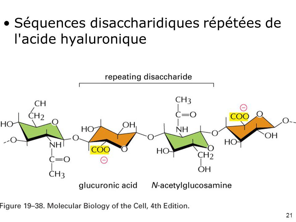 Fig 19-38 Séquences disaccharidiques répétées de l acide hyaluronique