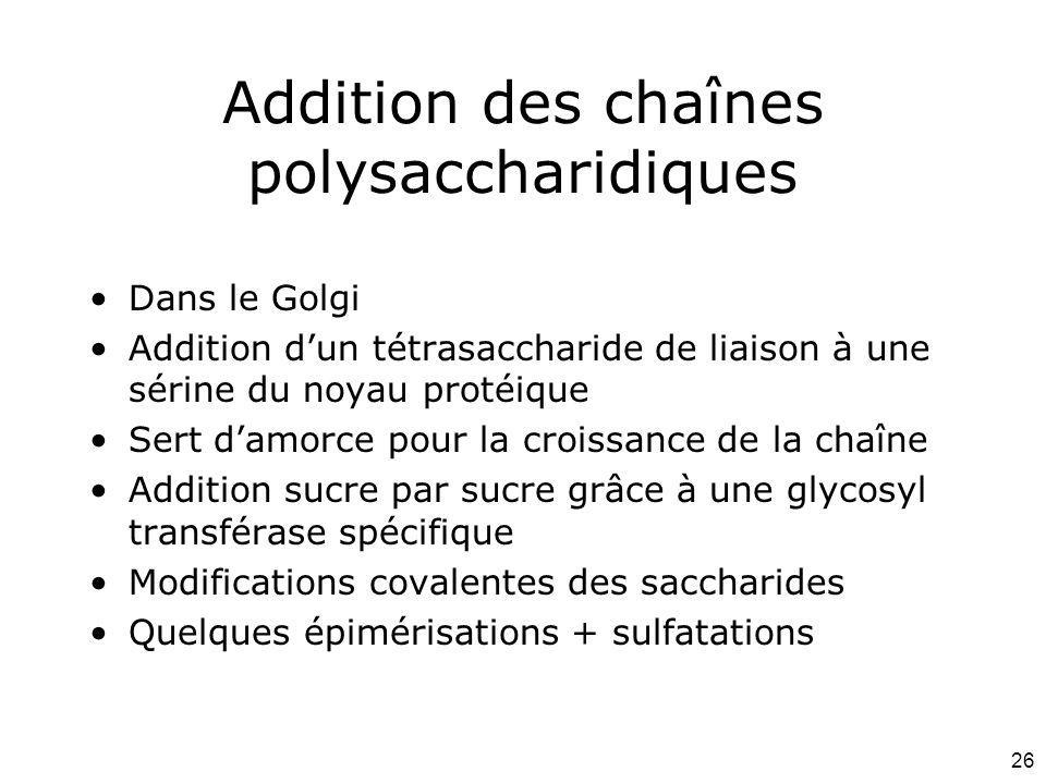 Addition des chaînes polysaccharidiques