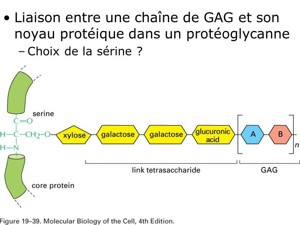 Mardi 12 février 2008 Liaison entre une chaîne de GAG et son noyau protéique dans un protéoglycanne.