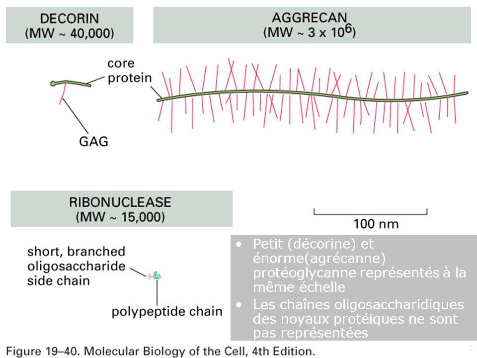 Mardi 12 février 2008 Fig 19-40. Petit (décorine) et énorme(agrécanne) protéoglycanne représentés à la même échelle.
