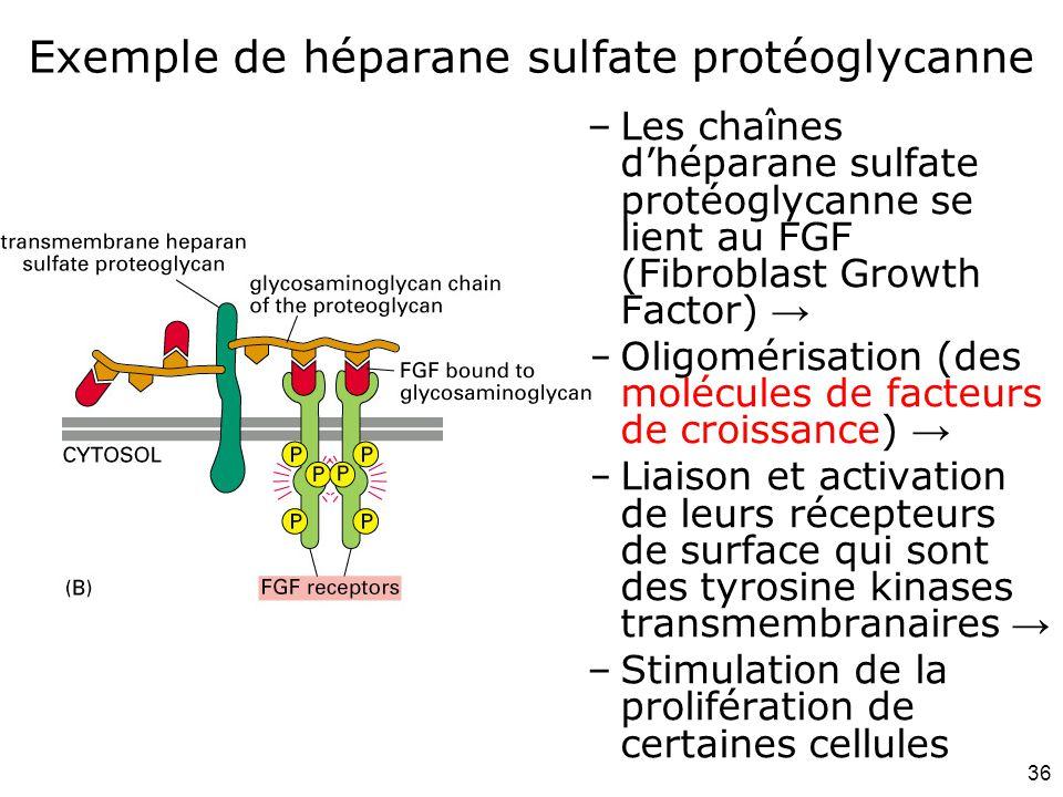 Exemple de héparane sulfate protéoglycanne