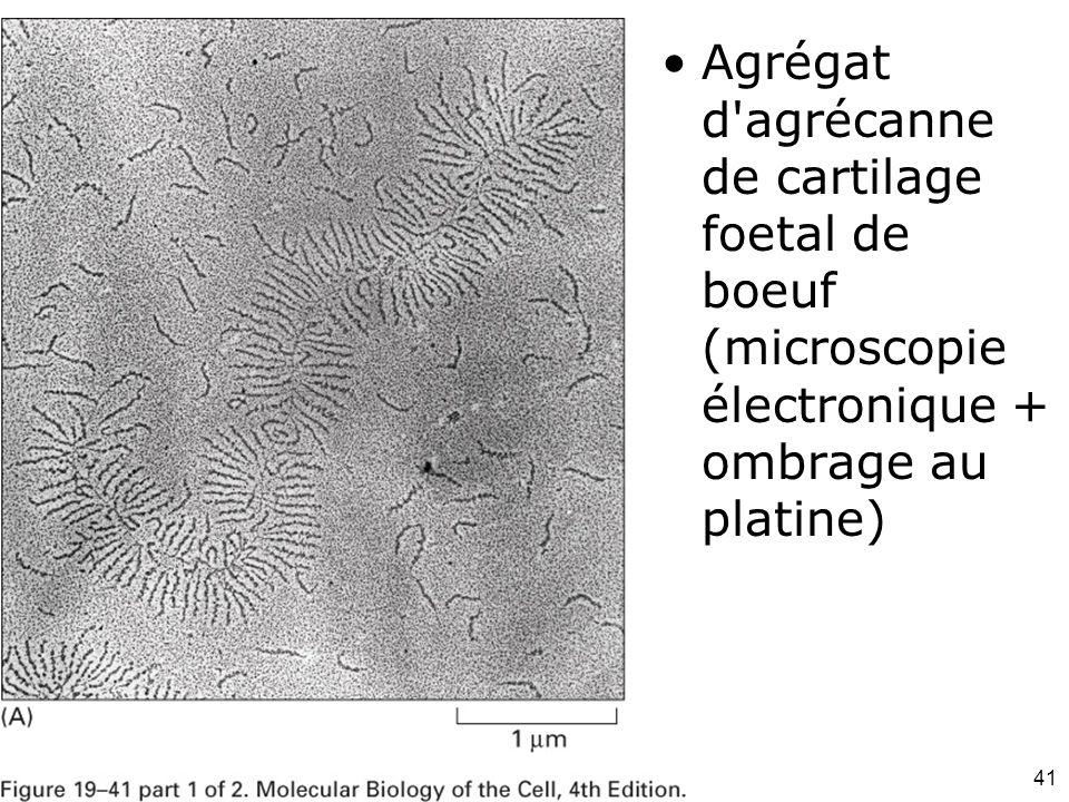 Mardi 12 février 2008 Agrégat d agrécanne de cartilage foetal de boeuf (microscopie électronique + ombrage au platine)