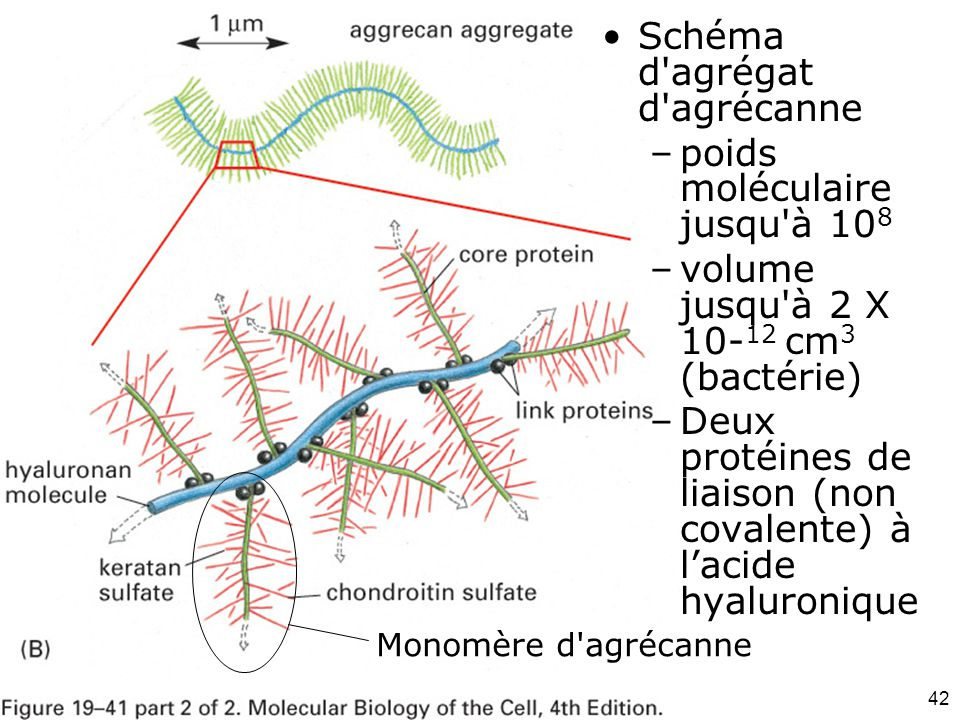 Fig 19-41(B) Schéma d agrégat d agrécanne