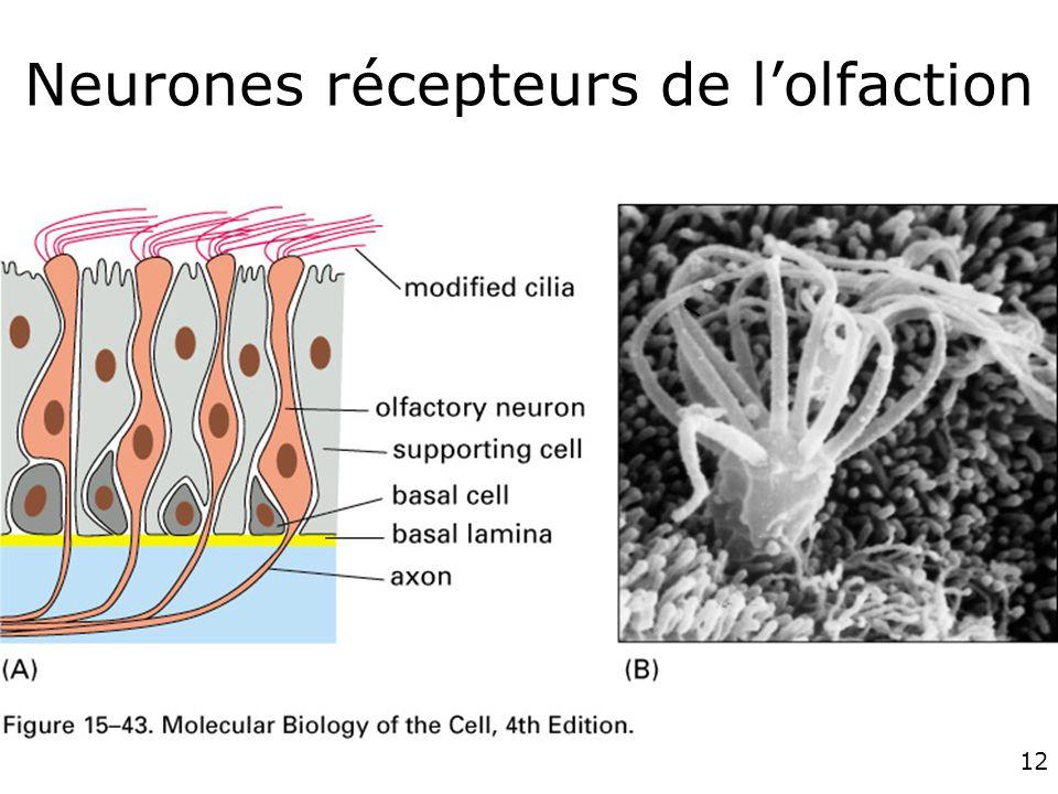 Neurones récepteurs de l'olfaction