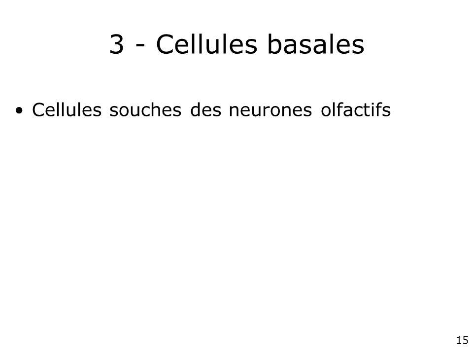 3 - Cellules basales Cellules souches des neurones olfactifs #1p1268
