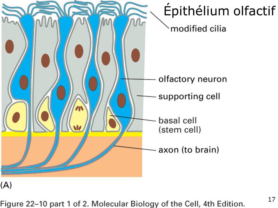 Épithélium olfactif fig. 22-10 (A) #1p1268