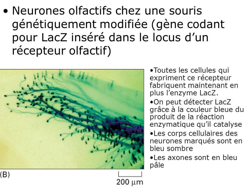 Neurones olfactifs chez une souris génétiquement modifiée (gène codant pour LacZ inséré dans le locus d'un récepteur olfactif)