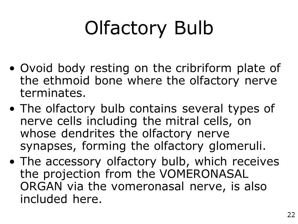Olfactory Bulb Ovoid body resting on the cribriform plate of the ethmoid bone where the olfactory nerve terminates.