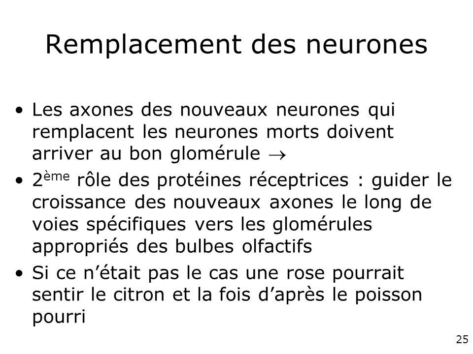 Remplacement des neurones