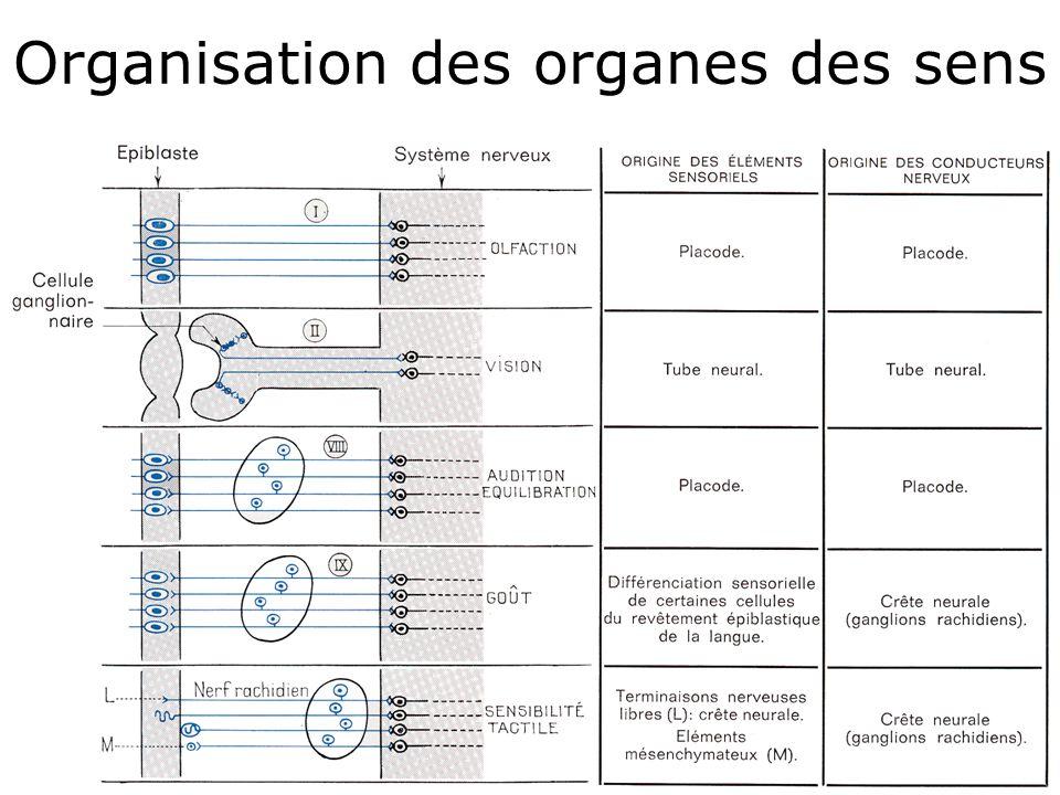 Organisation des organes des sens