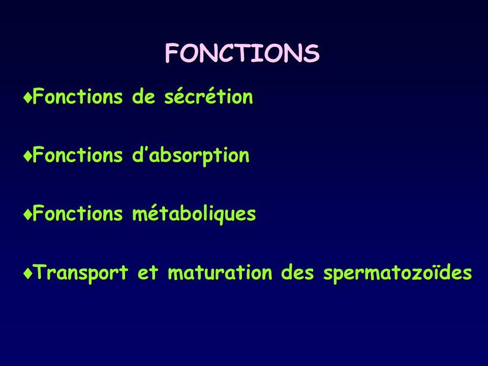 FONCTIONS Fonctions de sécrétion Fonctions d'absorption