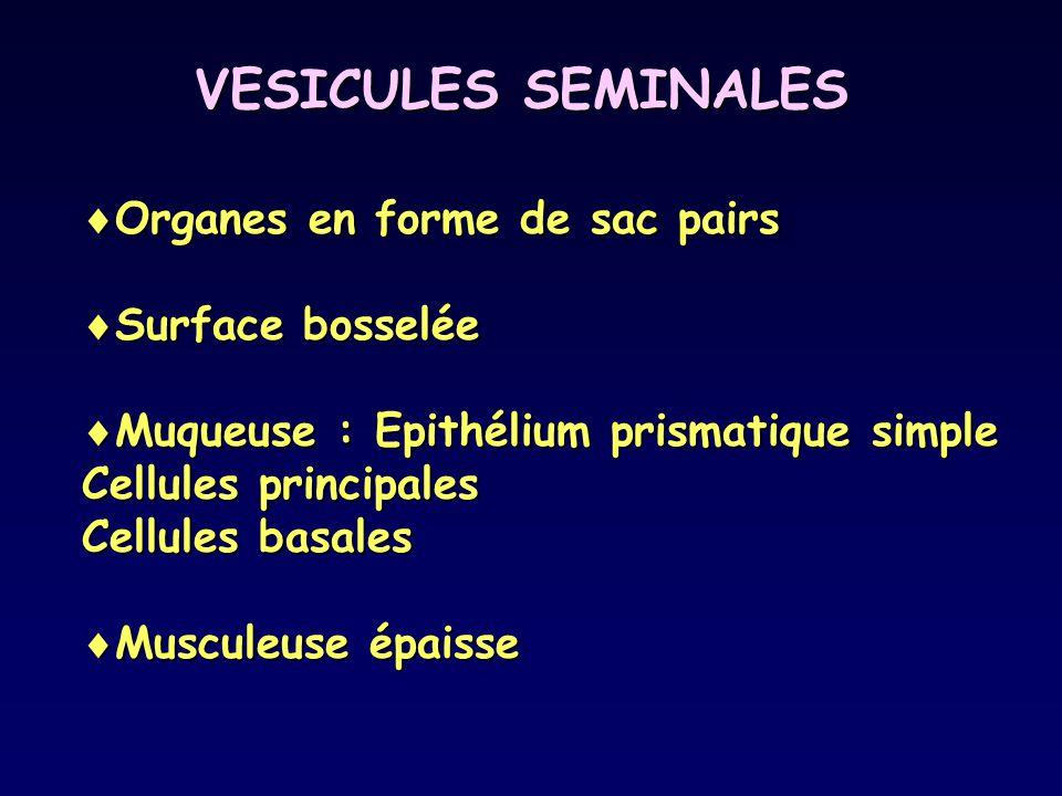 VESICULES SEMINALES Organes en forme de sac pairs Surface bosselée