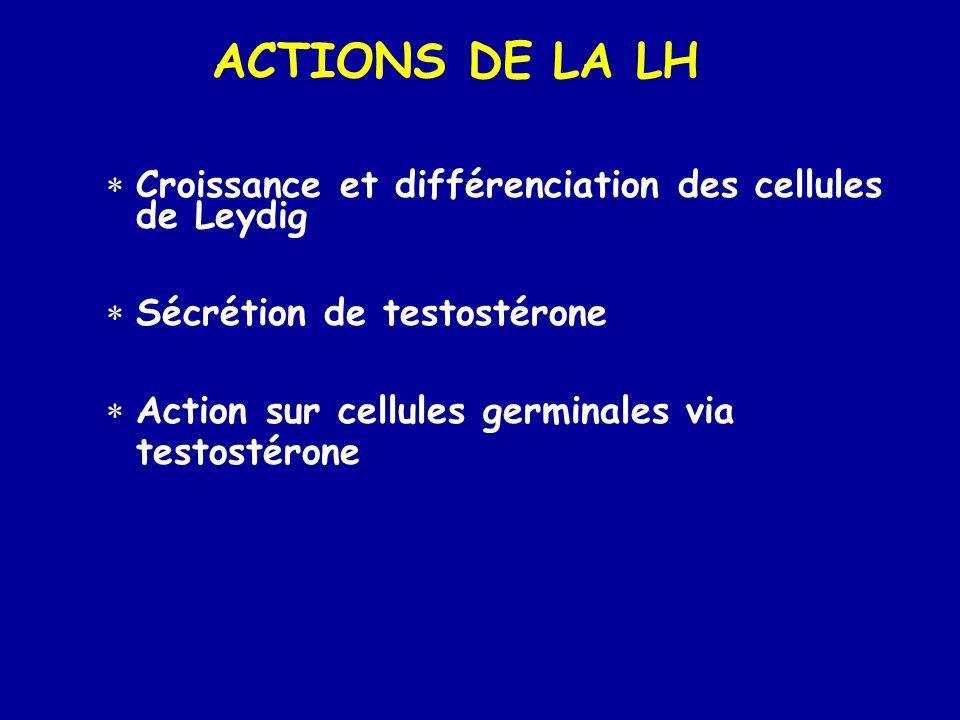ACTIONS DE LA LH Croissance et différenciation des cellules de Leydig