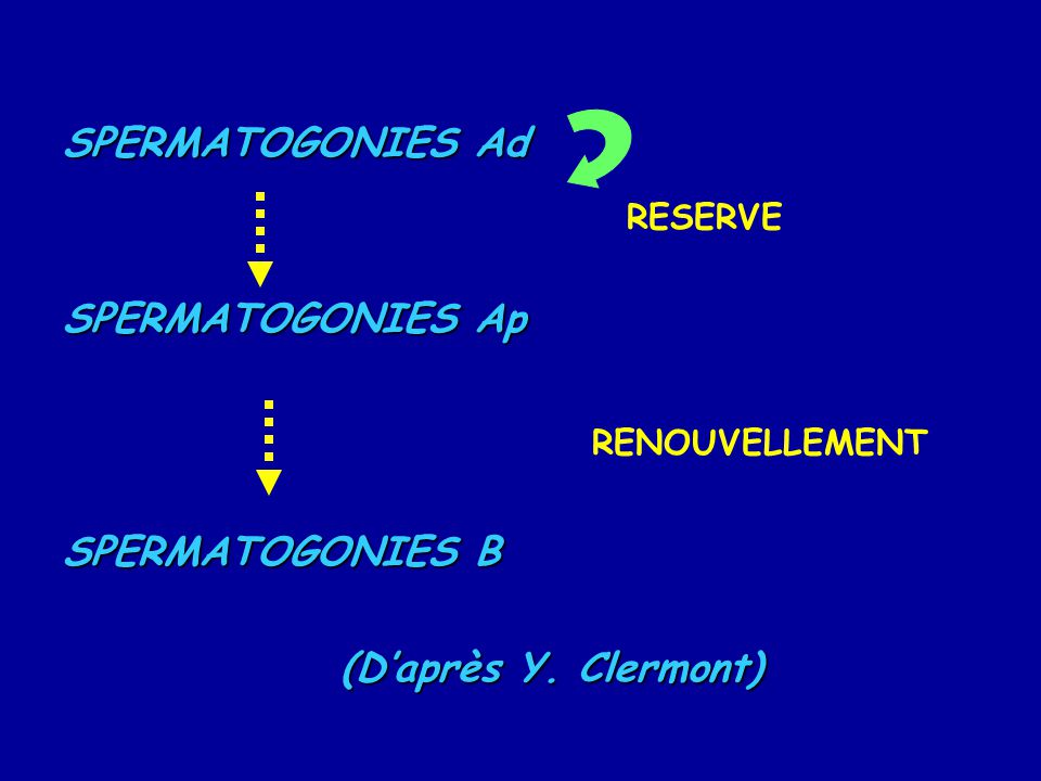 SPERMATOGONIES Ad SPERMATOGONIES Ap SPERMATOGONIES B