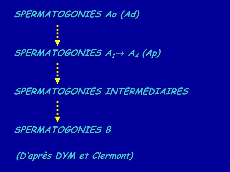 SPERMATOGONIES Ao (Ad)