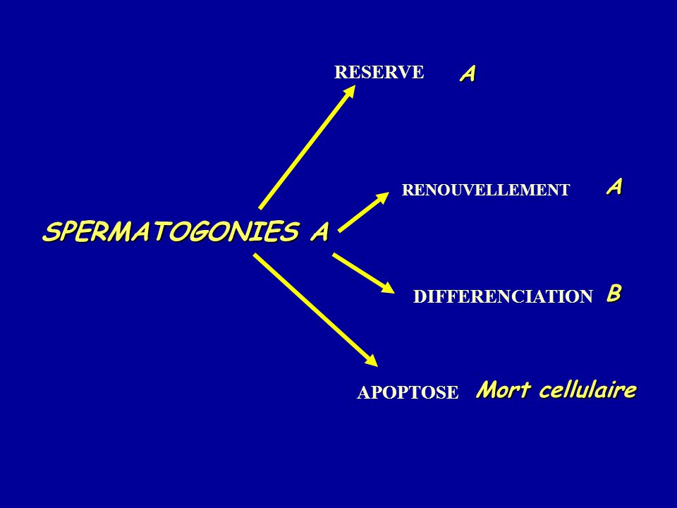 SPERMATOGONIES A A A B Mort cellulaire RESERVE DIFFERENCIATION