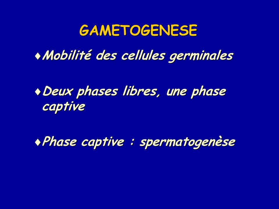 GAMETOGENESE Mobilité des cellules germinales